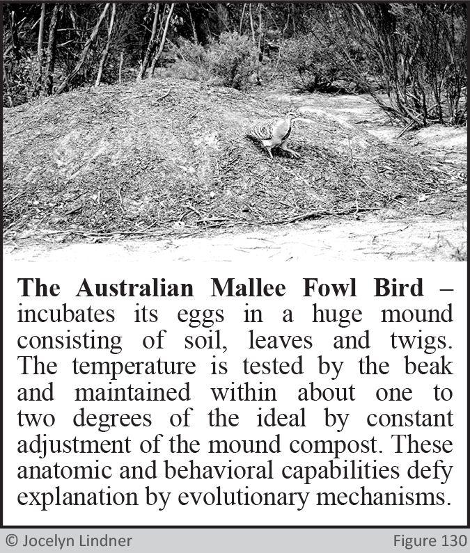 Australian Mallee Fowl