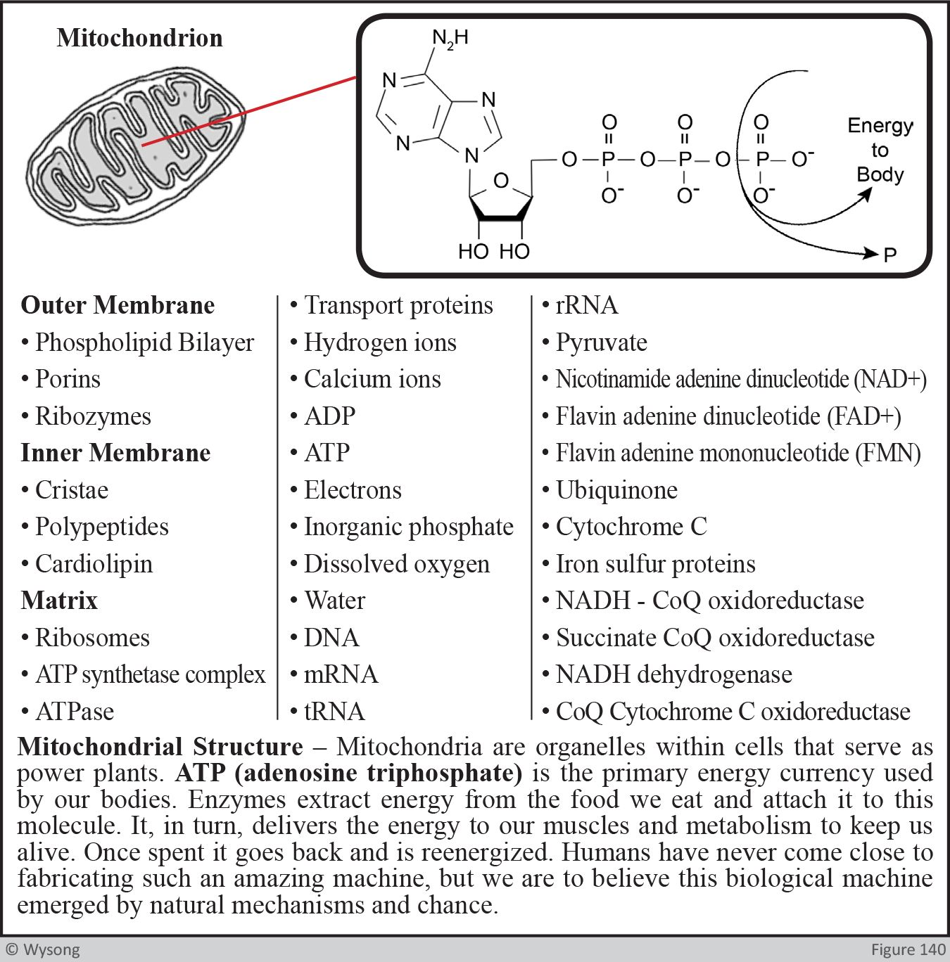 Mitochondrial Structure, ATP