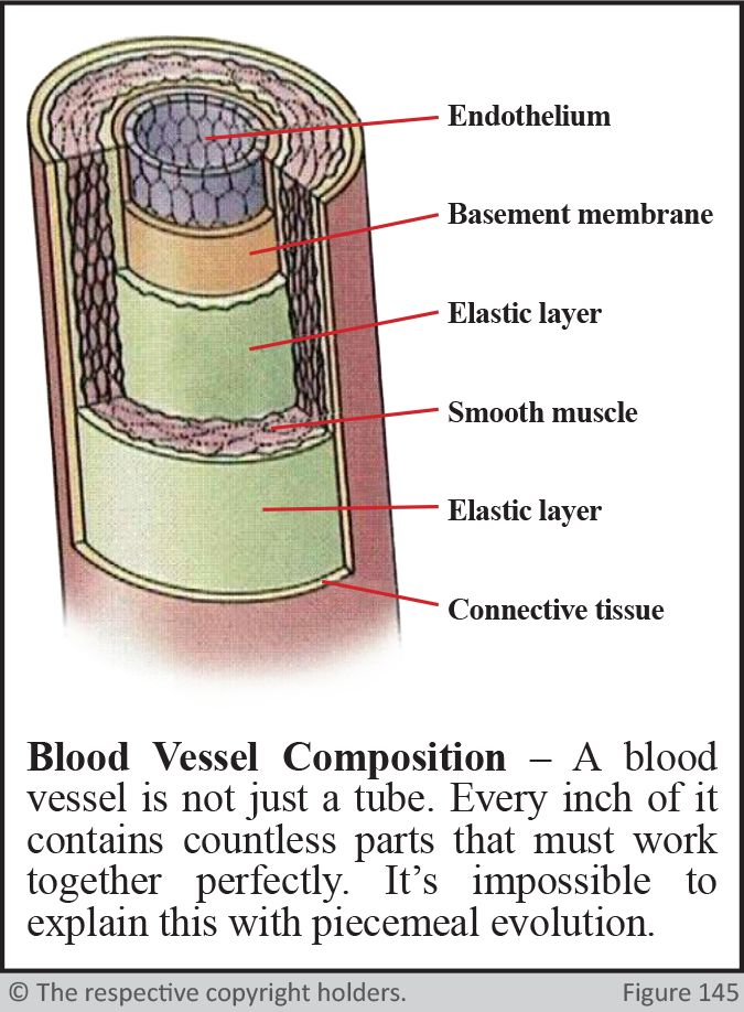 Blood Vessel Composition