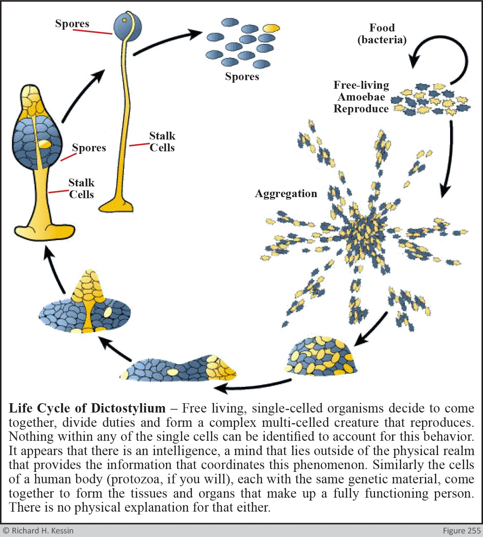 Dictostylium