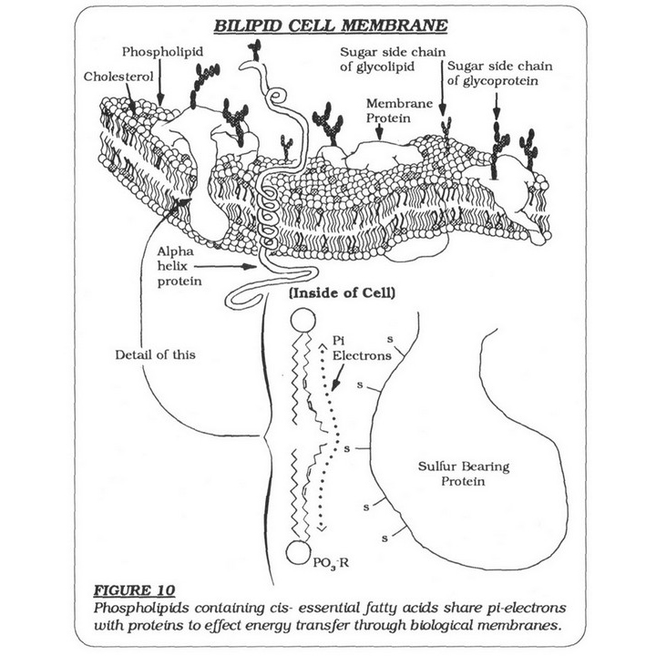 Bilipid Cell Membrane